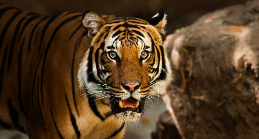 Bengal Tiger Ranthambore National Park