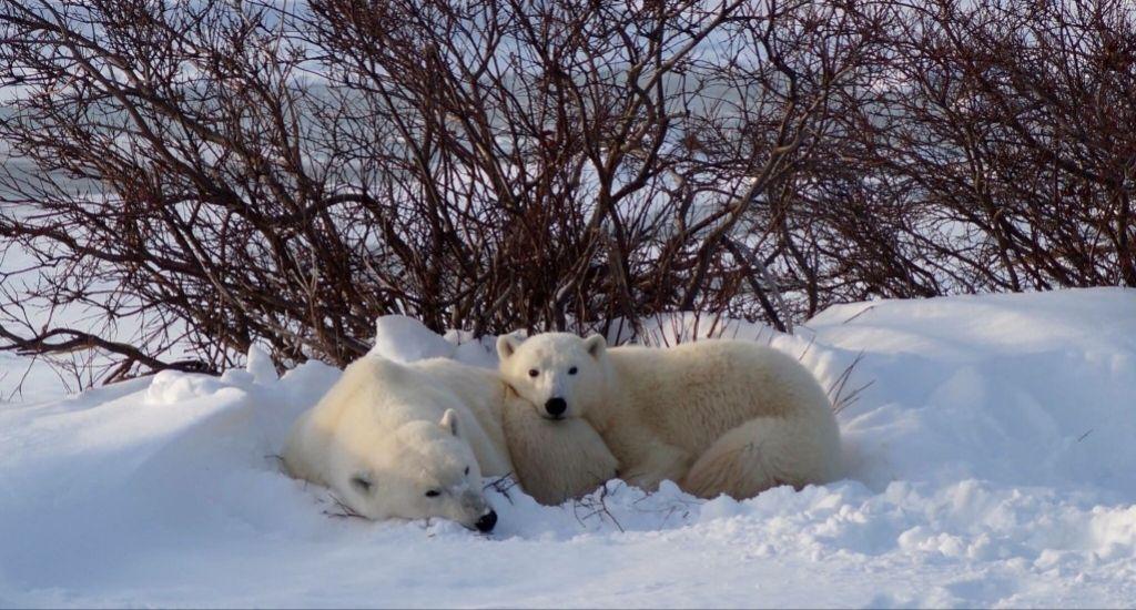 Polar bears lying down in Canada
